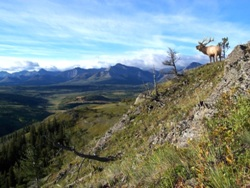 Bull Elk on Ridge, Alberta (photo by Rod Sinclair)