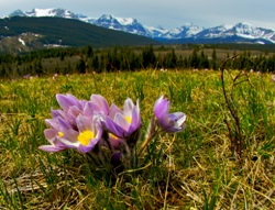 Crocus and Mountains, Alberta (photo by Karol Dabbs)