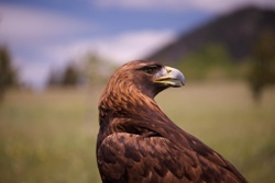 Golden Eagle, Alberta (photo by NCC)