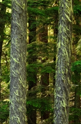 Darkwoods lichen-covered trees, British Columbia (photo by Tim Ennis)