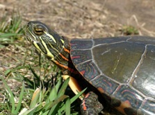 Painted Turtle, Ontario (Photo by NCC)